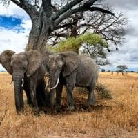 elefantes de uganda