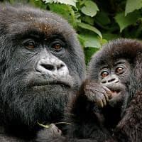familia de gorilas