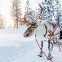Trenó de renas - Lapônia, Finlândia.