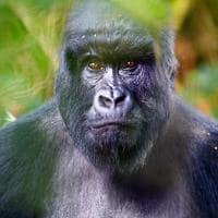 Gorila adulto