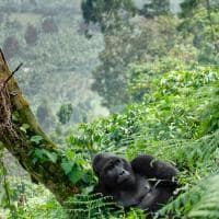 gorila da montanha arvore