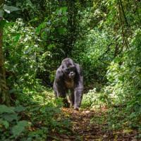 gorila da montanha de uganda