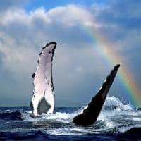 Observação de baleias - Havaí.