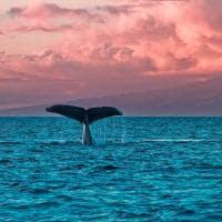 Observação de baleias na região de Lahaina - Havaí.