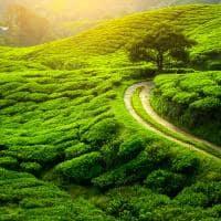 Plantação de chá em Darjeeling