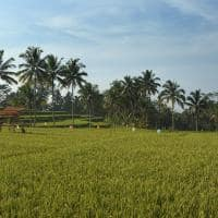 Campo de arroz no Alila Ubud