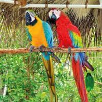 Araras jamaica