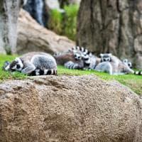 Lemures calda longa