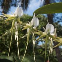 Orquidea de madagascar