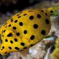 Peixe cofre amarelo mocambique