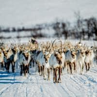 Noruega migracao renas