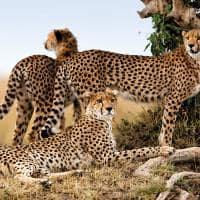 Guepardos em safári no Quênia
