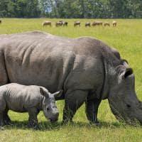Rinoceronte com filhote no Quênia