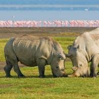 Rinocerontes em sáfari no Quênia