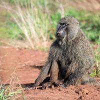 Ruanda babuino