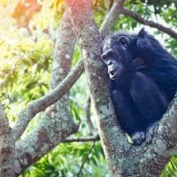 Ruanda chimpanze