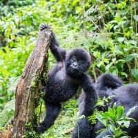 Ruanda gorila bebe brincando