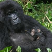 Ruanda gorila mae