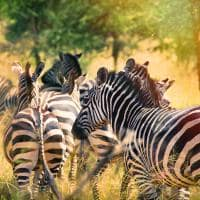 Ruanda zebra