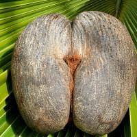 Female Coco de Mer