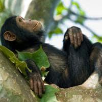 Chimpanze na tanzania
