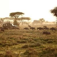 Gnus durante safári no Serengeti, Tanzânia