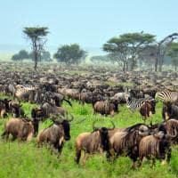 Grande Migração, Parque Nacional Serengeti, Tanzânia