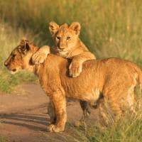 Leoa e filhote - Vida Selvagem