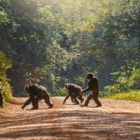 Uganda chimpanze familia