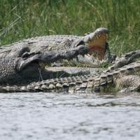 Crocodilo uganda