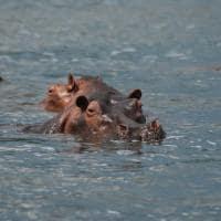 Hipopotamo uganda
